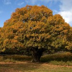 oak-tree-autumn